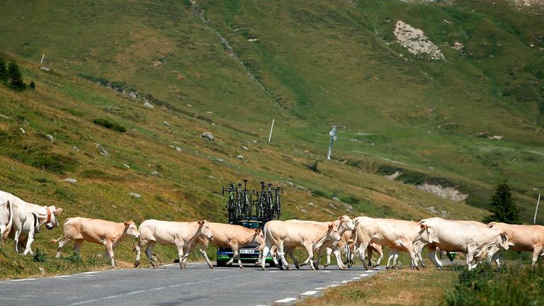One of the team cars was held up as the herd crossed the road